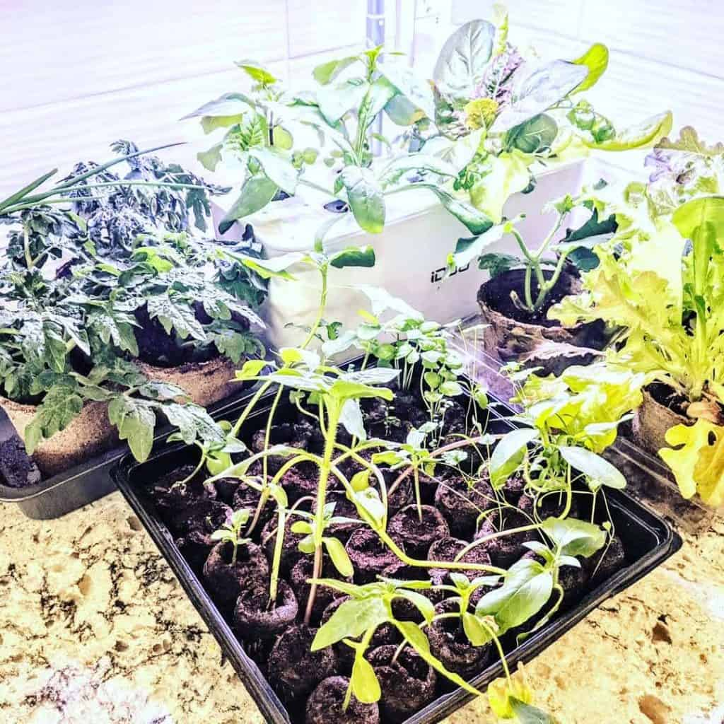lush herbs and vegetables growing on a counter